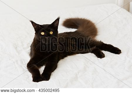Black Cat Bed. A Beautiful Portrait Of A Domestic Purebred Kitten On White Bed Linen. A Black Maine