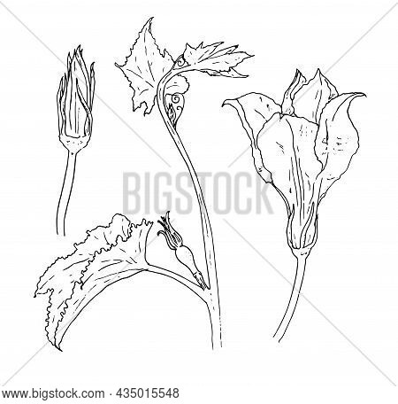 A Set Of Zucchini Flowers. Sketch-style Parts Of A Squash Plant, Flower And Bud, Isolated Black Outl