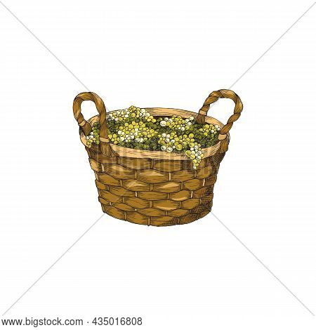 Woven Basket With Green Grape Berries, Hand Drawn Vector Illustration Isolated.