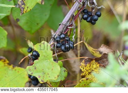 Berries Of Wild Amur Grapes In Russia