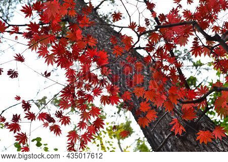 Red Far Eastern Maple Leaves In Autumn