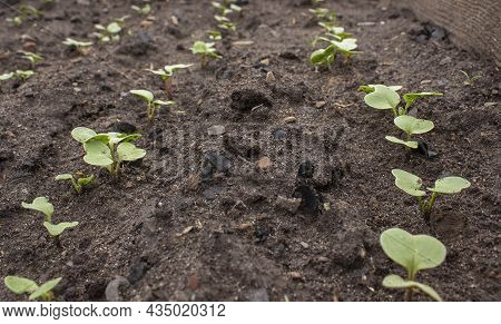Radish Sprouts Sprang Up In The Ground. A Bed Of Young Radishes Grows In The Garden. Radish Leaves.