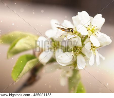 A Wasp On A Flowering Branch. White Flowers On A Tree Branch With An Insect. The Tree Blooms In Spri