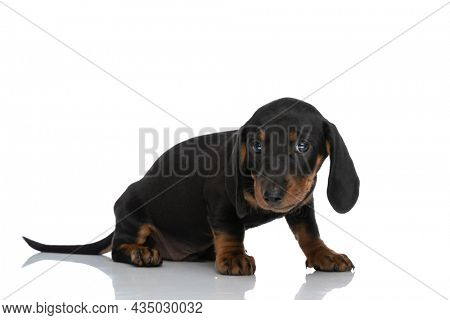 side view of adorable teckel dachshund dog looking away and sitting in front of white background in studio