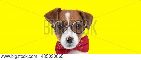 landscape of an adorable jack russell terrier dog wearing eyeglasses and a bowtie on yellow background