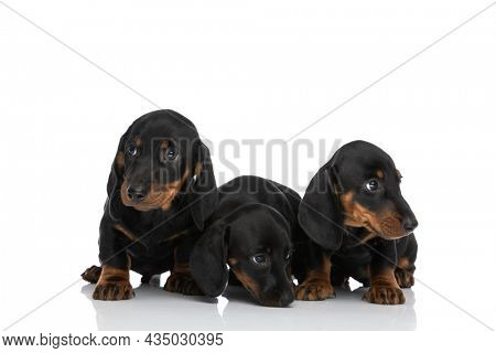 cute small family of three teckel dachshund dogs sniffing and looking away on white background in studio