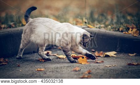 Portrait Of A Thai Cat In Nature. The Cat Is Playing With Autumn Leaves. A Thai Cat Walks In Autumn