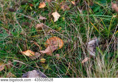 Defocus Mushroom (suillus Luteus) Among Dry Grass And Leaves. Suillus Luteos Mushroom Growing In The