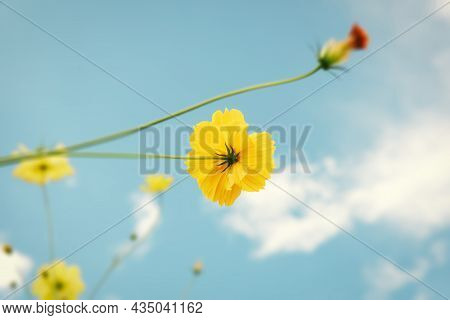 Cosmos Flowers Bloom Against Blue Sky Background, Close-up Of Cosmos Flower Blossom In The Morning.