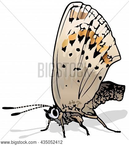 Northern Blue - Beautiful European Butterfly Plebejus Idas Isolated On White Background, Vector Illu