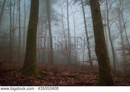 Cold Morning Fog In A German Beech Forest In The Winter Months