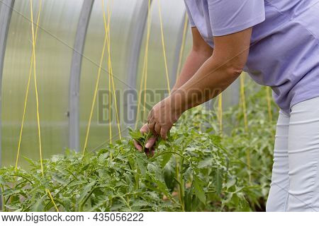 Female Hands Inspect The Leaves Of Tomatoes In A Greenhouse. Checking Tomato Seedlings In The Greenh
