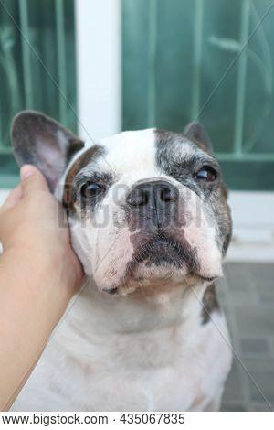 Groping A Dog, Tame French Bulldog Or French Bulldog At Home