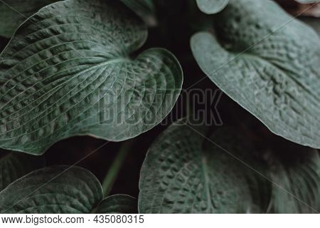 Dark Green Leaves Of Hosta Plant With Relief Pattern Matte Coating For Background. Top Viev.