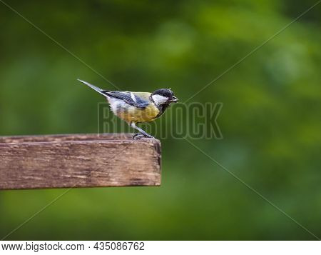 Great Tit Bird On Green Background. Songbird In Parc. Detail Great Tit Bird. Closeup Song Bird.