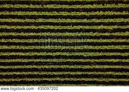 Vineyards, A Suggestive Aerial Image Over A Vineyards In An Amazing Landscape, Agriculture Plantatio
