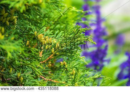 Thuja Occidentalis Bush Is Evergreen Coniferous Tree. Close Up Of Cypress Cedar Tree Branch With Bun