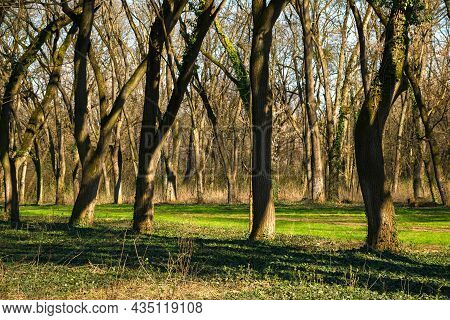 Leafless Trees In The Park. Green Grass On The Ground. Nature Scenery In Early Springtime. Bright Su