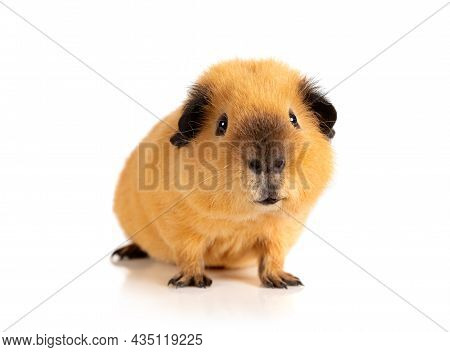 Lovely Red Guinea Pig Portrait Isolated On White Background