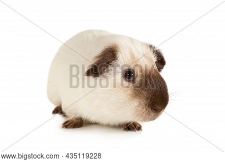 Small Guinea Pig, One Year Old, Lying Against White Background