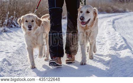 Man walking golden retriever dogs along snowy road on winter nature