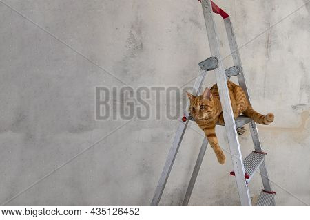 Young Red Tabby Cat Sits On Top Step Of Stepladder While Renovating Room. Renovation, Do It Yourself