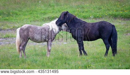 Grey And Black Icelandic Horse Cuddling In A Green Field