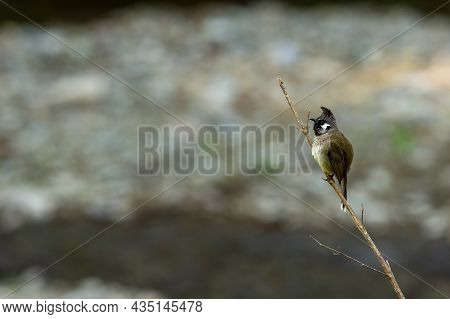 Himalayan Bulbul Or White Cheeked Bulbul Bird Portrait Perched On Branch At Foothills Of Himalaya Ut