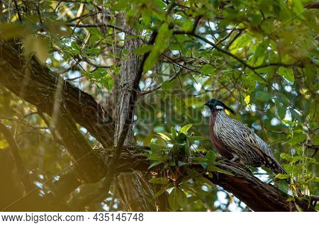 Koklass Pheasant Or Pucrasia Macrolopha Portrait A High Altitude Bird In Natural Green Background Pe
