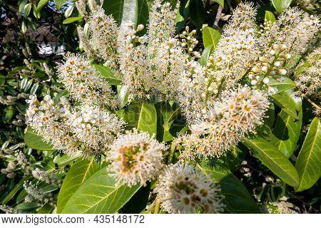 Close-up Of Cherry Laurel (prunus Laurocerasus) Blooms. White Long Inflorescences Of Cherry Laurel I