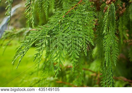 Close Up View Of Cypress Pine Green Leaves For Christmas Or Winter Festive Season. (selective Focus)