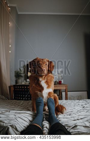 Attractive Brown Nova Scotia Duck Tolling Retriever Sitting On Bed Near With Female Legs In Blue Soc