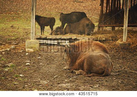 Bison Sitting