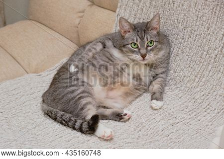 A Grey Cat With Green Eyes Is Sitting In A Funny Pose On A Beige Sofa