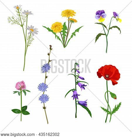 Field Flowers Vector Illustrations Set. Collection Of Meadow Flowers, Yellow Dandelions, Echinacea,