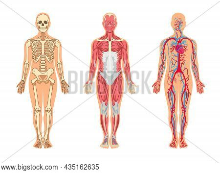 Muscles And Bones In Human Body Vector Illustrations Set. Cartoon Man With Skeleton And Blood Vessel