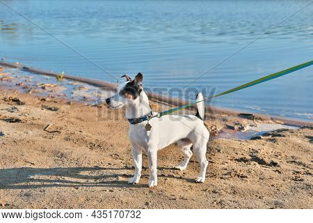 Concentrated Jack Russel Terrier Dog On A Leash Standing In Front Of A River And Looking Aside. Walk