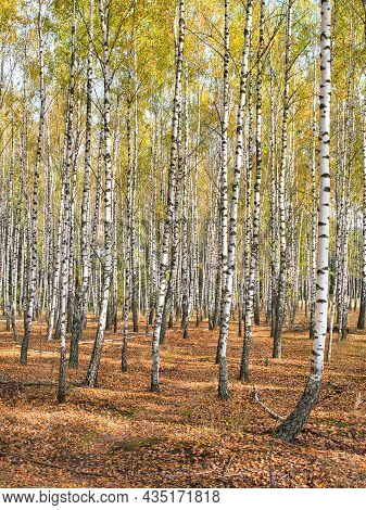 Slender White Trees Birch Grove In Autumn