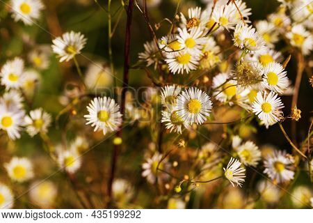 May Flowers Field Of Camomiles In Garden In Sunny Day For  Background. White And Yellow Chamomile Da