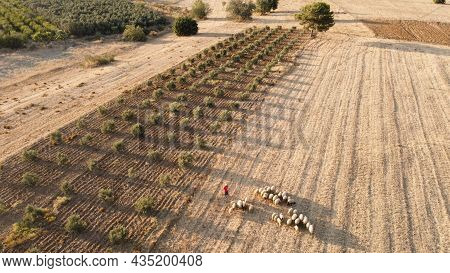 Aerial View Of Sheep Herd Grazing On A Field. Flock Of Sheep In A Countryside. Aerial View