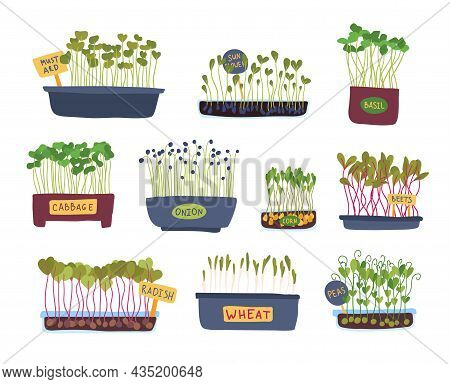 Cartoon Color Micro Greens In A Pot Icon Set Flat Design Style Include Of Cabbage, Pea, Onion And Ba
