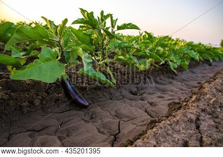 The Black Eggplant Fruit Grows On The Plantation. Agriculture, Farm. Food Production. Solanum Melong