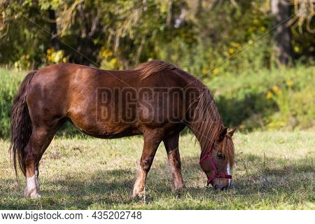 Brown Horse In Red Harness Grazes Of Blurry Autumn Forest Background At Sunny Day