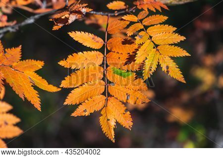 Rowan Tree Colorful Autumn Leaves Over Blurred Background, Close Up Photo With Selective Focus. Fall