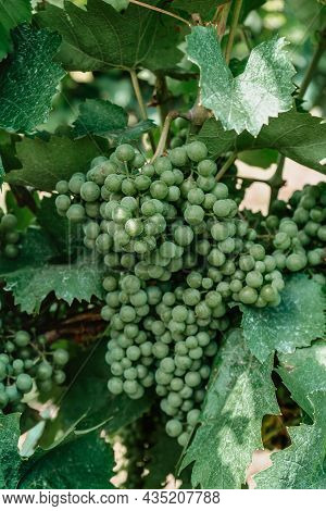 Detail Of Unripe Organic Grapevine In Spring.close Up Of White Grapes In Vineyard,grape Ripening Con