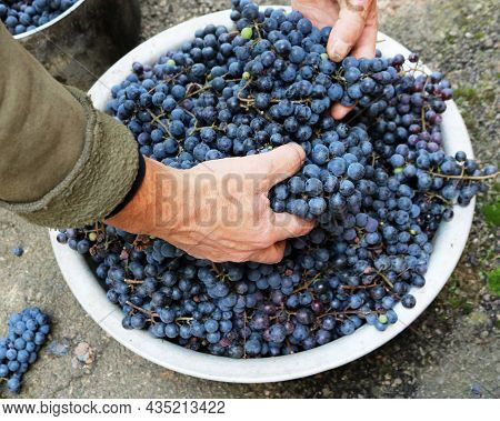 Picking Ripe Dark Grapes By Male Hands, Dark Purple Berries On Grape Bunches In A Metal Basin In The