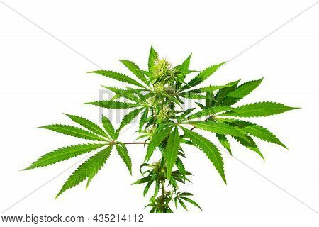 Cannabis Bush On A White Background Isolated. Medicinal Marijuana Leaves Of The Jack Herer Variety A