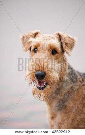 Happy Airedale Terrier Portrait