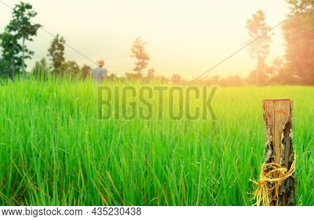 Selective Focus Wooden Pole On Blur Farmer And Green Rice Field. Rice Farm Field. Agriculture Land.