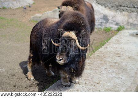 Shaggy Bulls Glisten In The Sun. A Musk Ox With Long Hair Basks In The Sun. Rare Northern Ungulates.